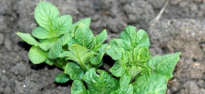 Placering af fosfor til kartofler