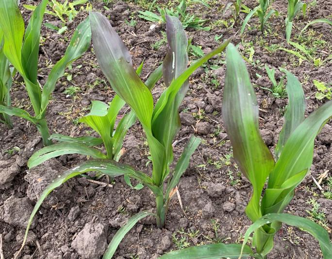 Kvælstof og fosfor via bladene